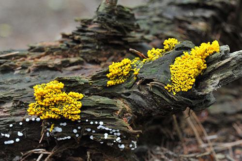 粘菌:作品詳細|私の森.jp写真部 ギャラリー